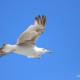 Un gabbiano ripreso in volo dal basso con le ali spiegate