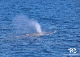 whale watching Imperia balenottera comune