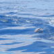 stenella striata whale watching imperia