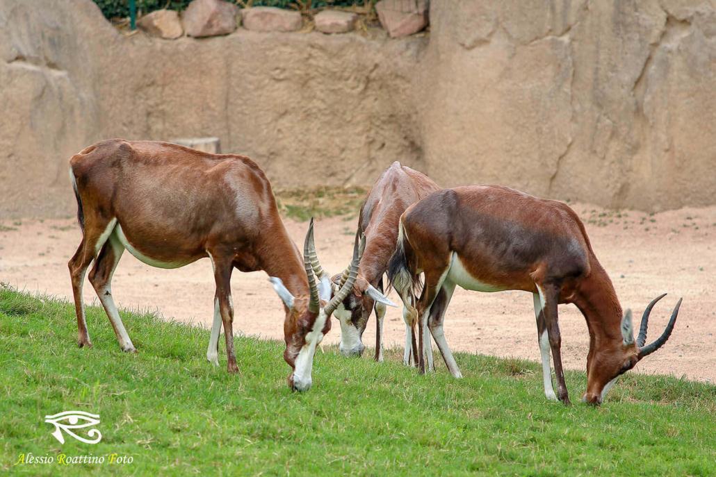 Antilopi damalisco zoom Torino