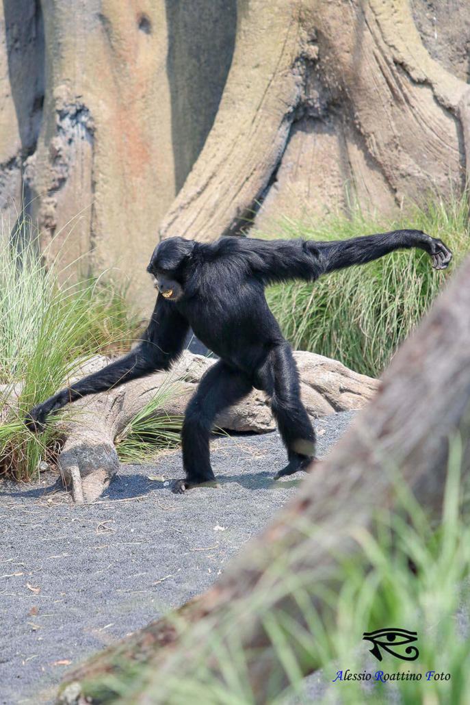 Gibbone che cammina zoom Torino