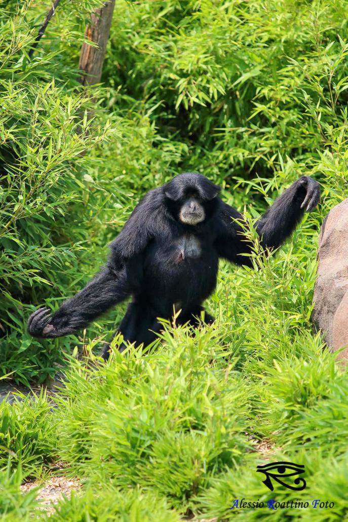 Gibbone che esce dalle siepi zoom Torino