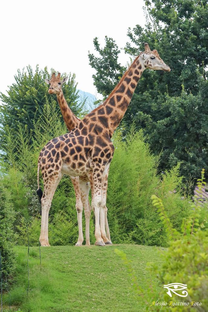 Coppia di giraffe zoom Torino