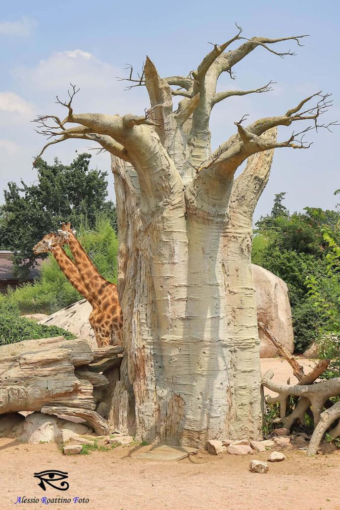 2 giraffe dietro un albero zoom Torino
