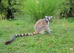 Lemure seduto sul prato zoom Torino